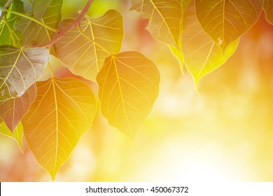 Green Bodhi leaves background with sunrise (also known as Pipal leaves and Bo leaves)
