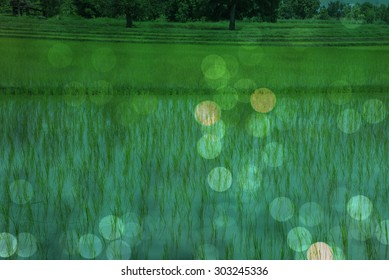 Green bokeh out focus from rice green grass.
