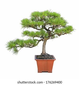 green bonsai pine tree with a white background