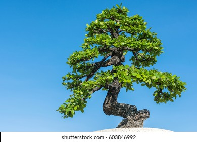Green bonsai tree against blue sky background