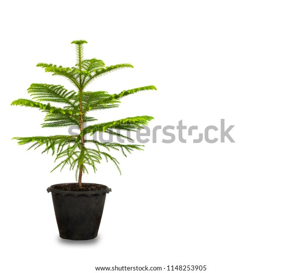 Green bonsai tree pine in plastic pot isolated on white. Eco concept with copy space for text or art work design. Norfolk island pine. Christmas tree for decoration