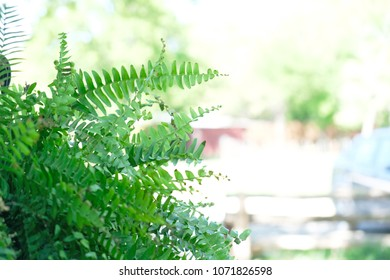 Green Boston Fern leaves with outdoor background.