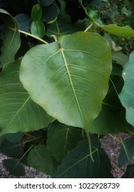 Green bothi leaf ( Pho leaf ,Bo leaf)