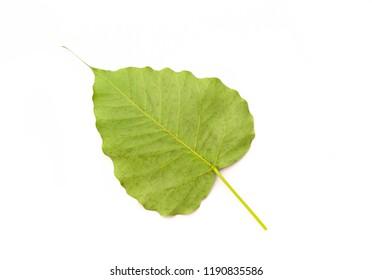 Green bothi leaf (Pho leaf, bo leaf) isolated on white background