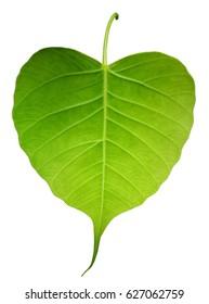 Green bothi leaf (Pho leaf, bo leaf) isolated on white background.