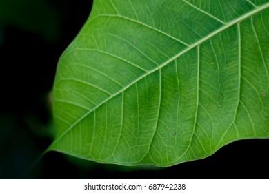 Green bothi leaf (Pho leaf, bo leaf)