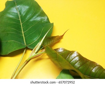 Green bothi leaves isolated on yellow background.