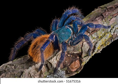 A Green bottle blue tarantula is crawling on a branch.