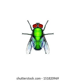 Green bottle fly or Green blowfly (Lucilia spp.) belongs to the family Calliphoridae. A notable member of this genus is the sheep blowfly Lucilia cuprina.