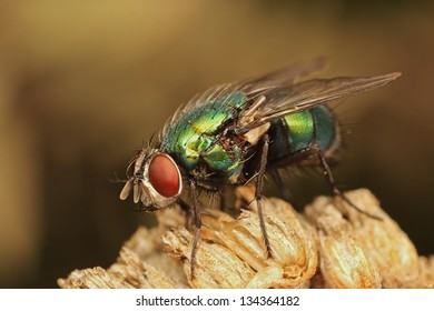 Green bottle fly (Lucilia sericata) resting on dry plant