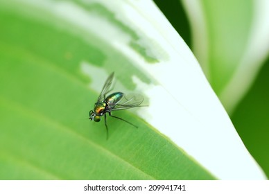 A Green Bottle Fly Sits Motionless on a Leaf