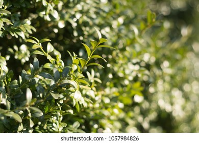 green boxwood hedge leaves in lighting of sunset in fall