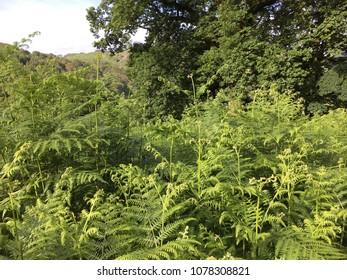 Green bracken, Rydal Water, Lake District, Cumbria, England