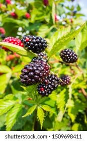 green Bramble with ripe blackberries