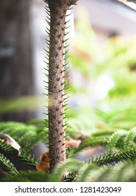 green branch of Araucaria heterophylla.