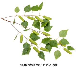 Green branch of a birch isolated on white.