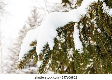 Green branch of fir under the snow cap. Winter landscape.