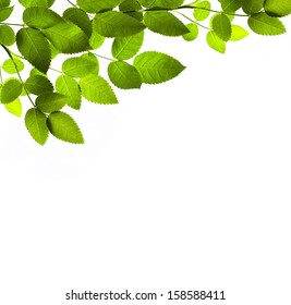 Green branch isolated on white background