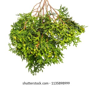 Green branch of a juniper with berries and needles on  white isolated background