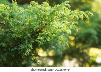 Green branch of juniperus virginiana or red cedar or eastern redcedar or virginian juniper or  eastern juniper or pencil cedar or and aromatic cedar in sunlight