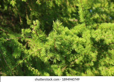 Green branch of larch with fresh leaves lit by the sunlight, natural spring background