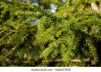 Green branch of larch with tiny leaves on the blue and yellow background. Brown cone of larch. Wild plants