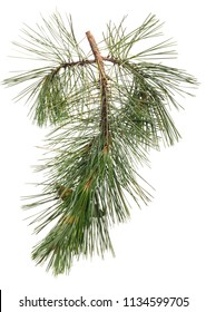 Green branch of pine with needles on white isolated background