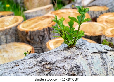 green branch of a poplar on a log near it the stumps of poplar which will be used for firewood