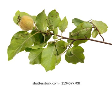 Green branch of quince with unripe fruit on white isolated background