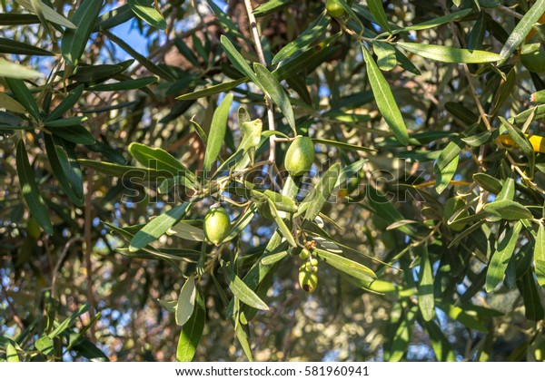 Green branch with unripe olives illuminated by bright sunlight