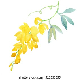 Green branch of yellow acacia isolated on white background, Blossoming acacia with leafs isolated on white background,  Acacia flowers, Golden shower isolated. Watercolor painting.