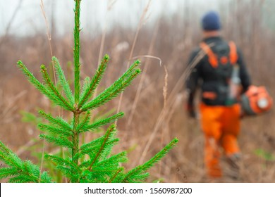 Green branch of a young pine. In the background, a forester is caring for forest plantations. Forestry and forestry.