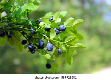 Green branches with berry of bilberry in the forest. Berries of forest blueberries. Bunch of berry
