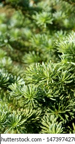 green branches of a coniferous tree close-up for сhristmas and new year holidays