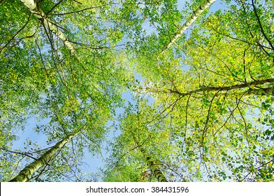 Green branches of forest trees extend to the blue sky in sunny day - spring landscape, lowest point shooting