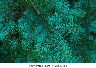 Green branches of fur tree. Holiday season. Christmas fir. Frame of blue pine branch. Green christmas background. Coniferous needles close-up. Pine-tree background. Scotch fir.