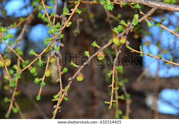 The green branches. larch in the spring. the buds on the tree