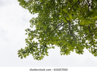 Green branches of the oak tree against the white cloudy sky background.