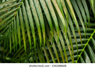 Green branches of palm trees in the daylight. Close-up.