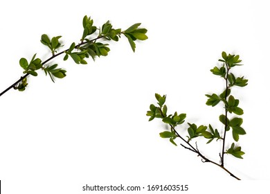 Green branches of a plant. On a white background