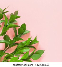 Green branches of ruscus on pink background. Flat lay, top view, copy space. Minimal concept