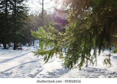 Green branches of spruce tree. Snow covered sunlit fresh green spruce tree branches and needles. Winter and Christmas scene.