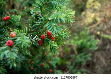 Green branches of yew tree with red berries (Taxus baccata, English yew, European yew). Green coniferous.