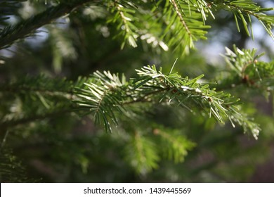 Green branches of young fir (abies nephrolepis). Natural background of fir branches.