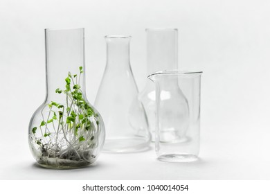 Green broccoli sprouts grown laboratory flask on white background.