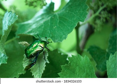 Green bronze on grape leaves,  large green beetle with a bronze sheen on a blurred green background,