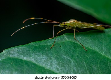 A green, brown Assasin bugs (Reduviidae) crawling on a green leaf isolated with dark and black background