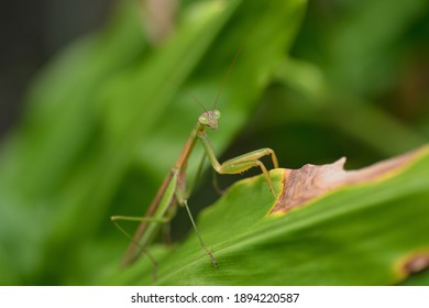 Green and brown, spotted mantis