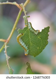 Green brownish yellow caterpillar with black spots - Larvae of the Large Rose Sawfly (Arge pagana) eating a rose leaf