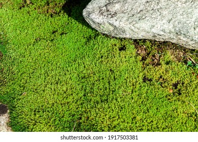 green bryophyte plant and boulder as a background